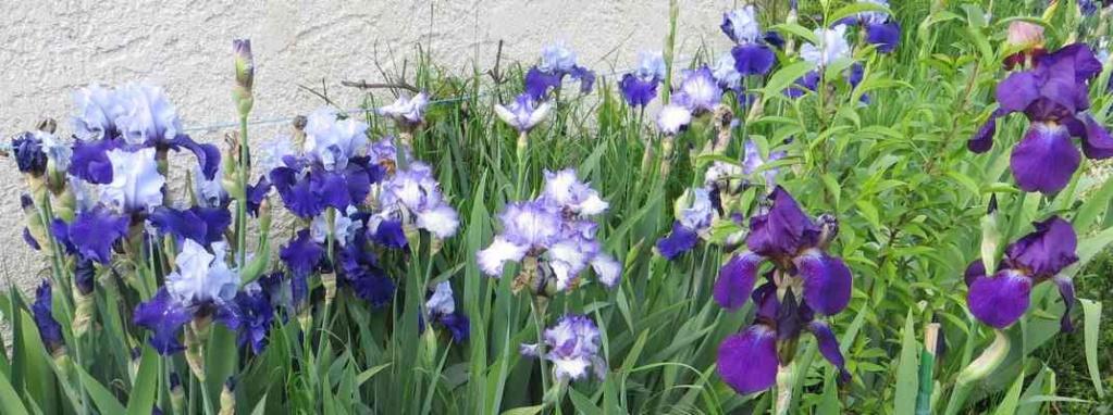 Le réveil des iris - 2019 - !!! 00327