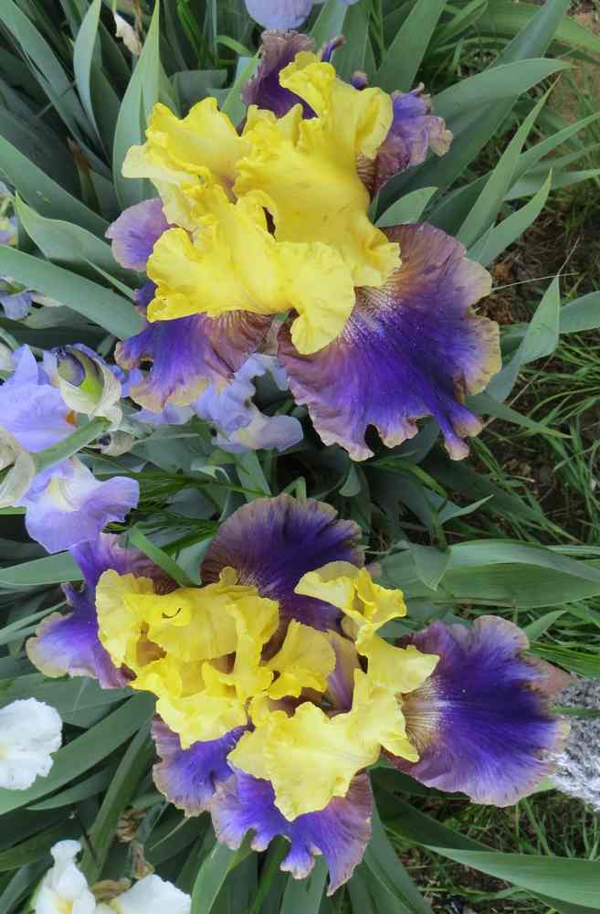 Le réveil des iris - 2019 - !!! 00422