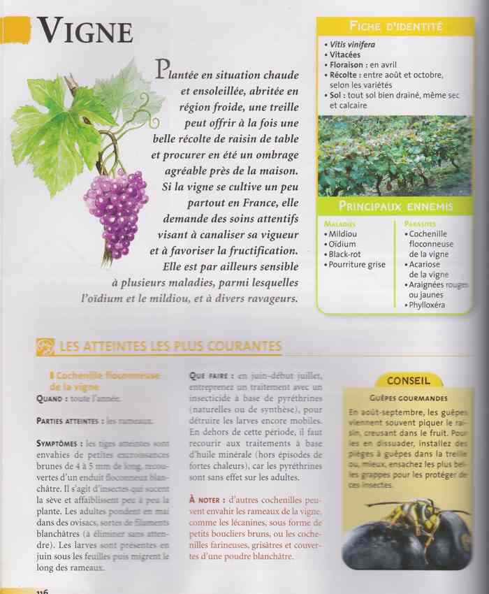 couper une branche de vigne au mois d'avril 1209