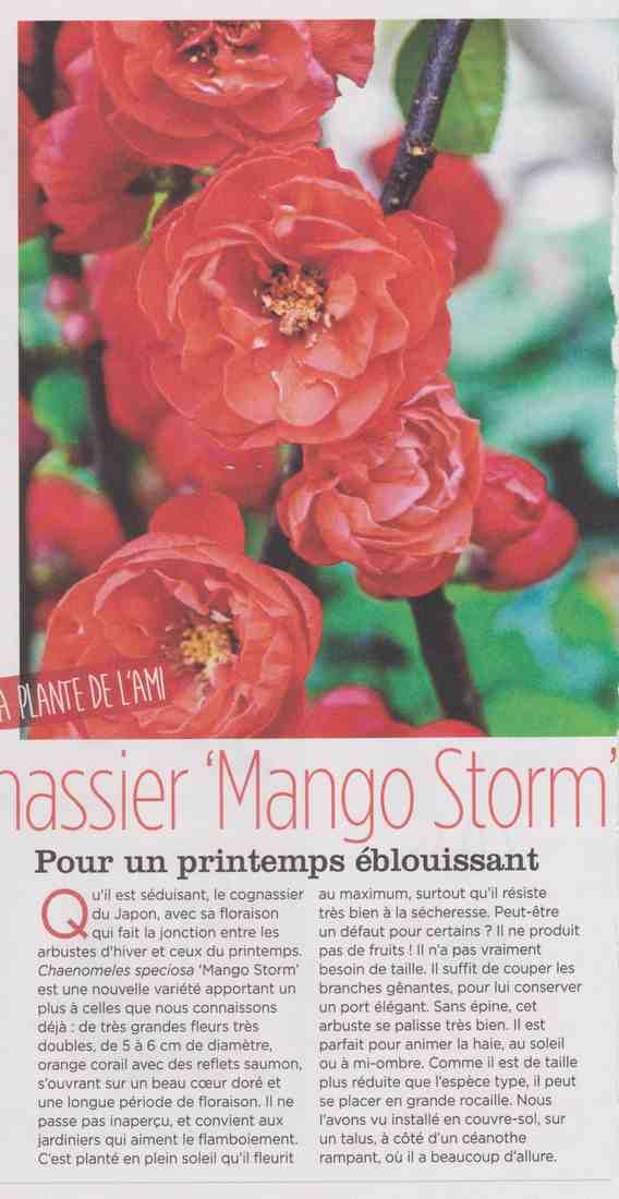 le cognassier mango storm Aa11