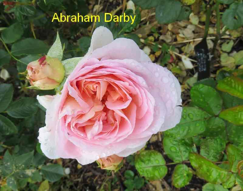 roses en vrac - Page 8 Abraha11