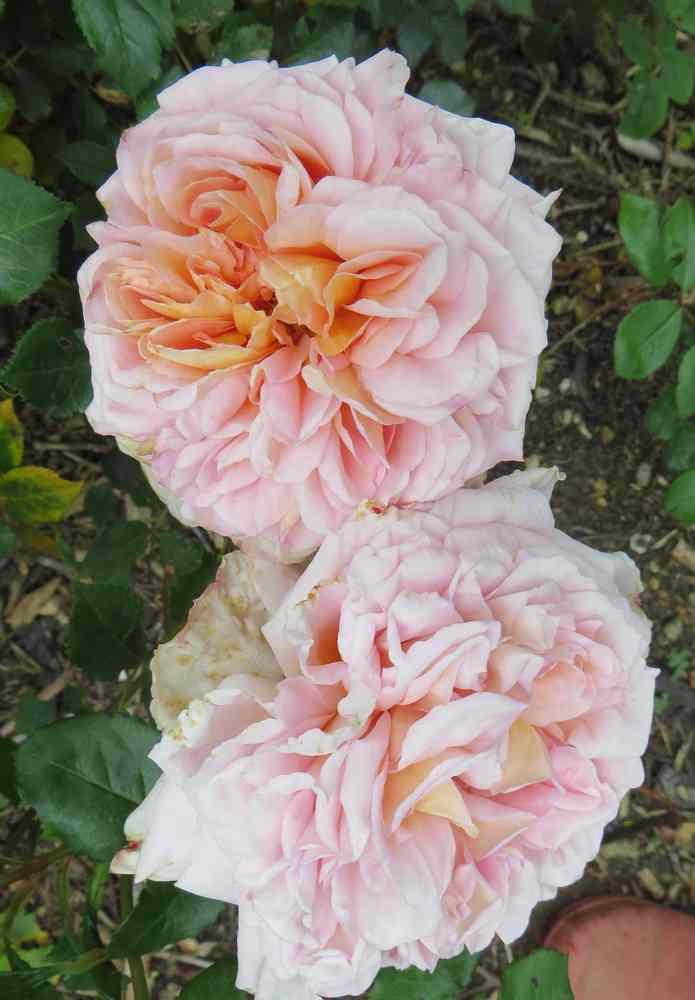 Rosa André le Notre - Page 2 Andrzo10