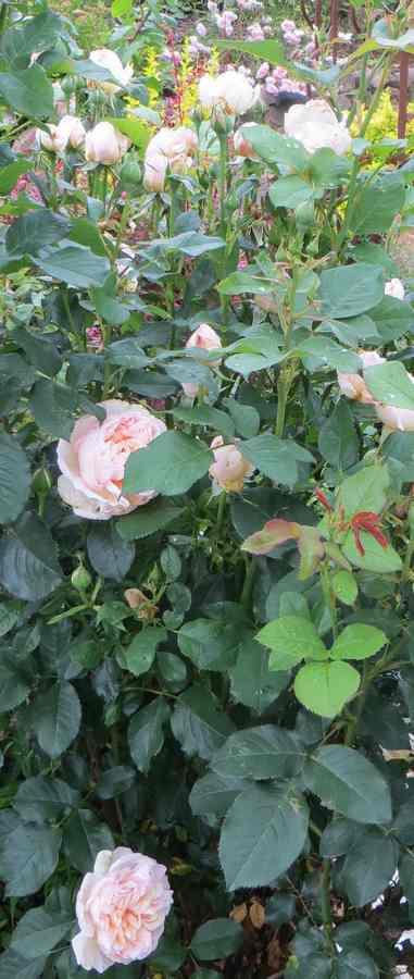 rosier belle romantica Belle_12