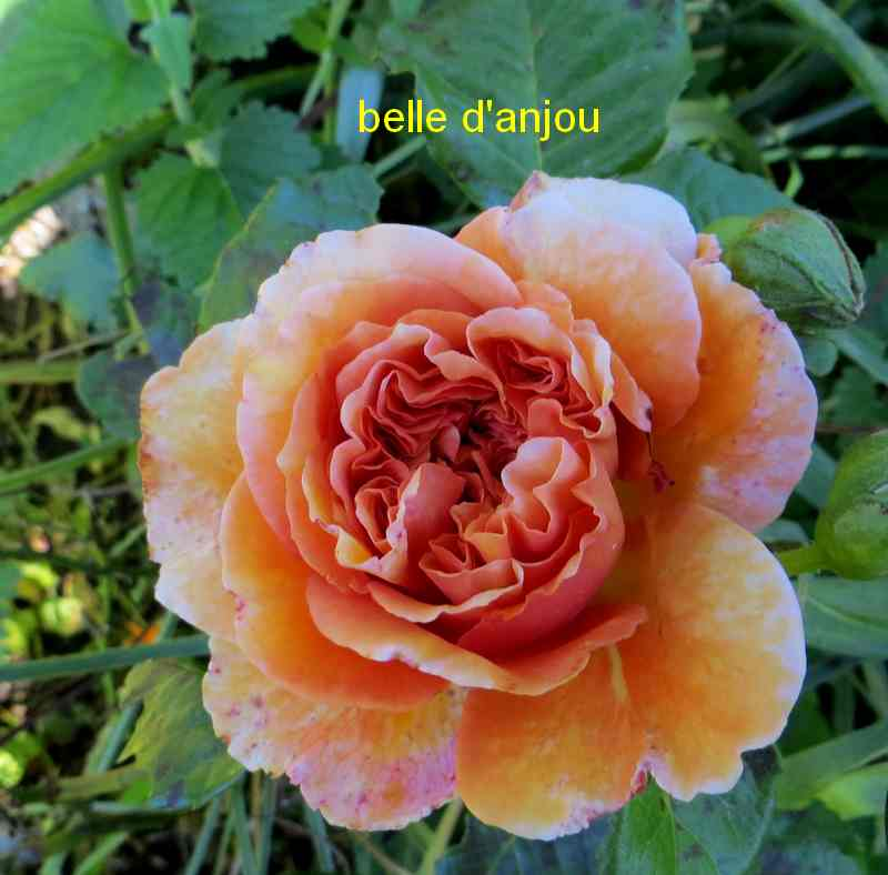 roses en vrac - Page 8 Belle_15