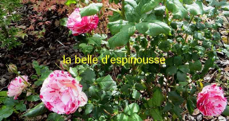 roses en vrac - Page 8 Belle_16