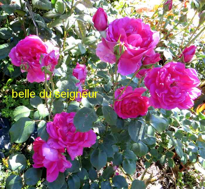 roses en vrac - Page 8 Belle_17