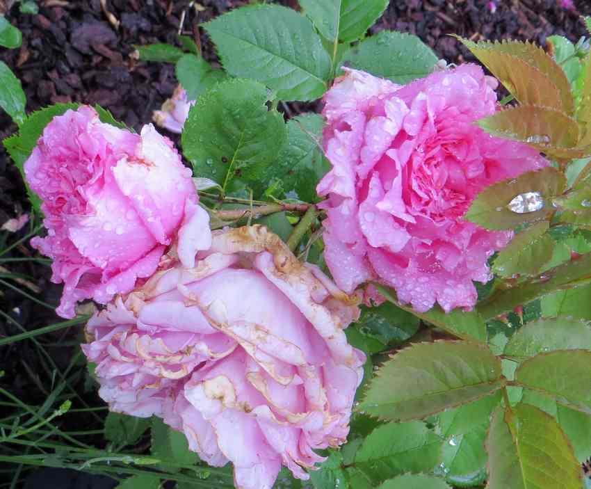 rosa bienvenue - Page 3 Bienve13