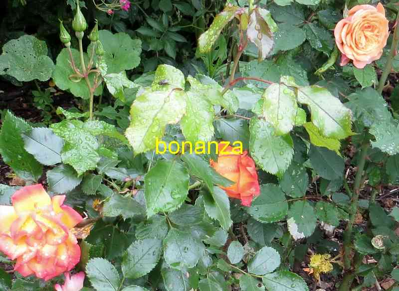 roses en vrac - Page 8 Bonanz10