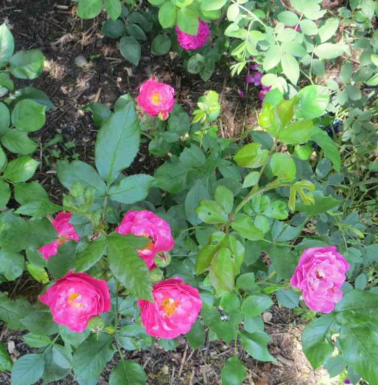 Rosa 'Blue Magenta'  - Page 5 Bordur11