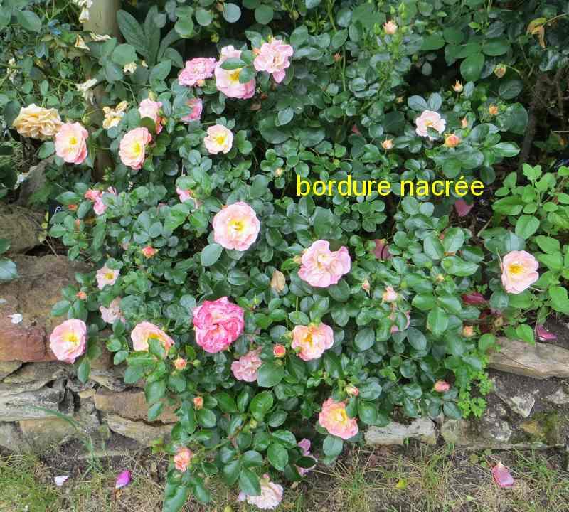 roses en vrac - Page 8 Bordur12
