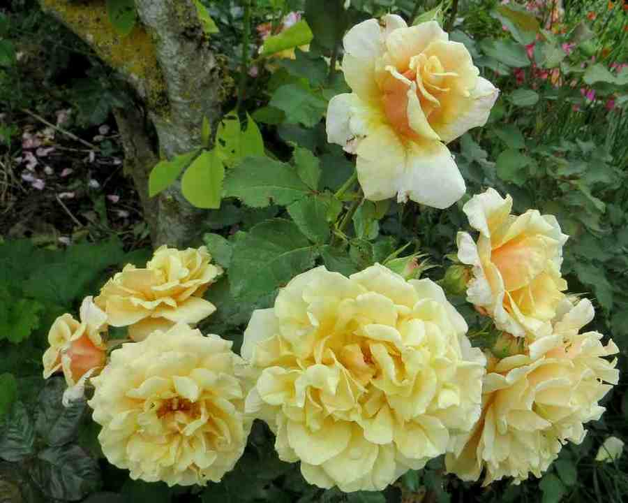 Rosa Caramella  - Page 2 Carame10