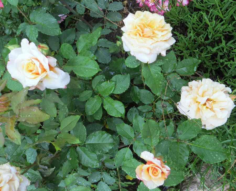 Rosa Caramella  - Page 3 Carame12