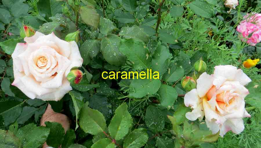 roses en vrac - Page 8 Carame14