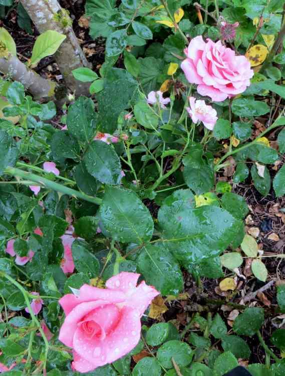 rosier Catherine Deneuve Cather10