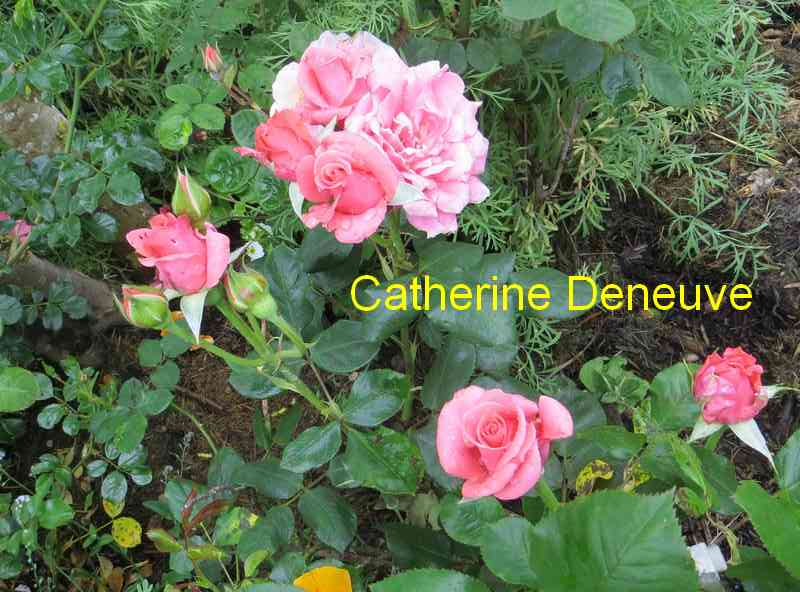roses en vrac - Page 8 Cather11