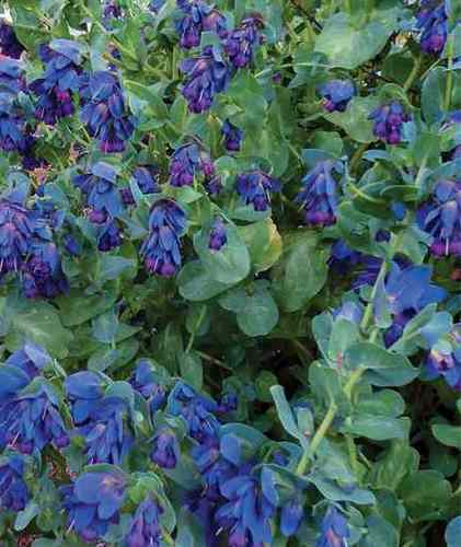 Cerinthe major purpurascens Cerint10