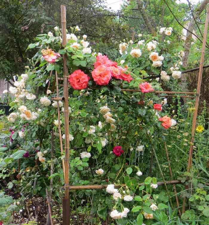 rosae Christophe Colomb Christ12