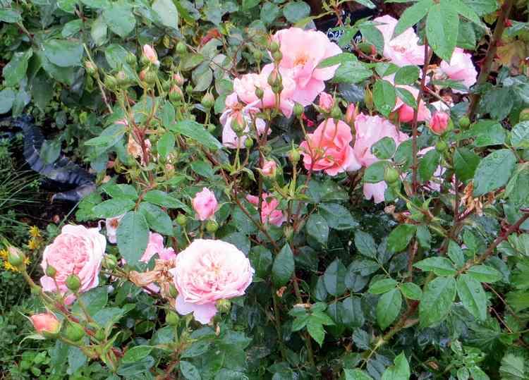 rosier Colette Colett11