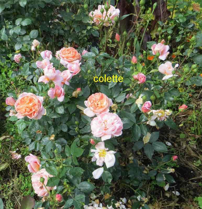 roses en vrac - Page 8 Colett12