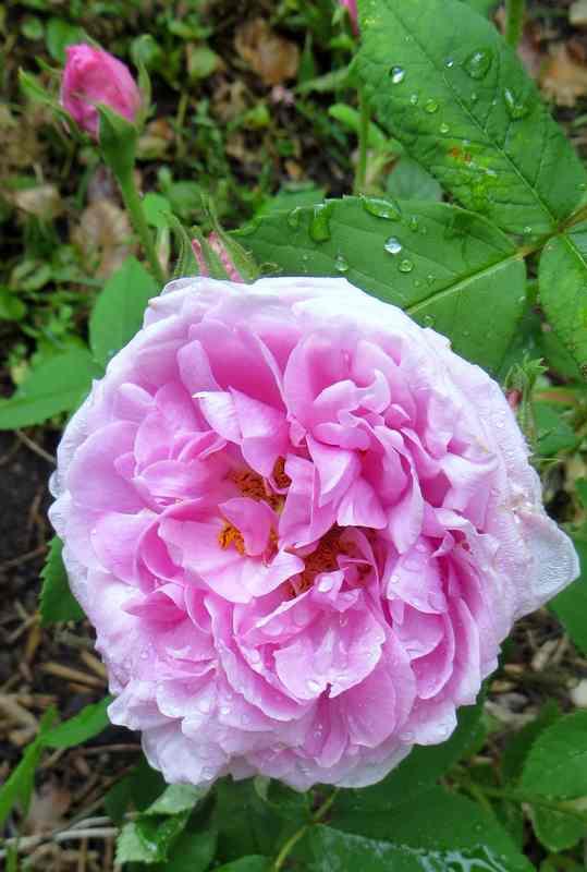 rosier comte de Chambord Comte_10