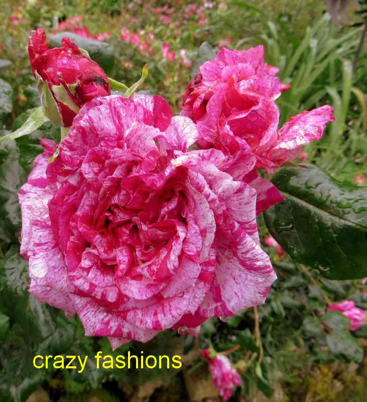 roses en vrac - Page 8 Crazy_11