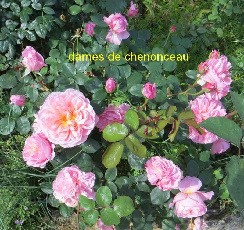 roses en vrac - Page 8 Dames_10