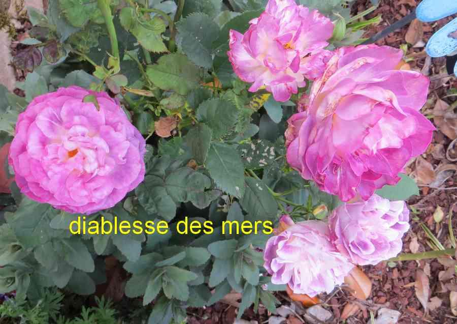 roses en vrac - Page 8 Diable13