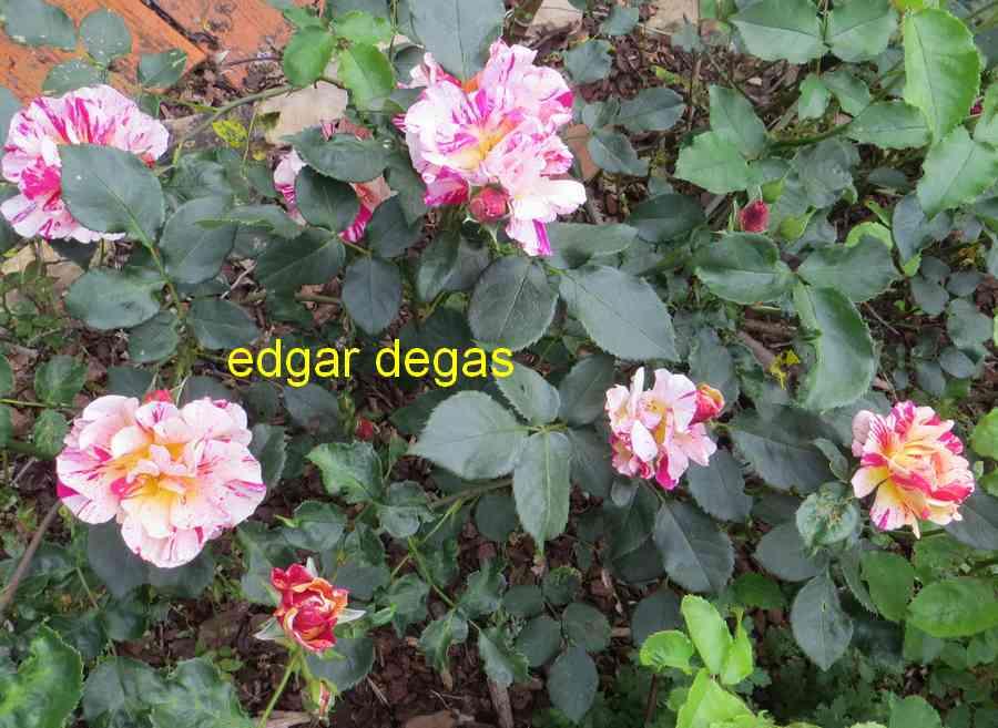 roses en vrac - Page 8 Edgar_13