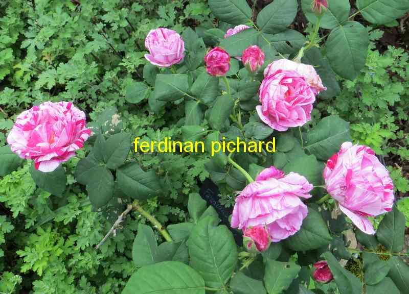 roses en vrac - Page 8 Ferdin12