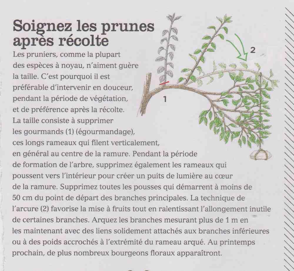 soigner les pruniers après récolte Ff10