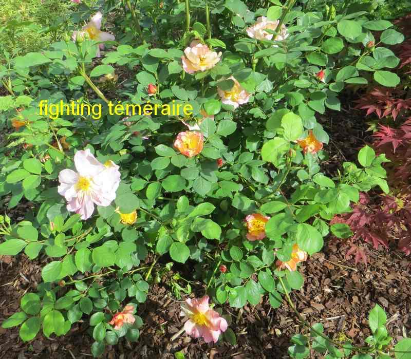 roses en vrac - Page 8 Figtin10