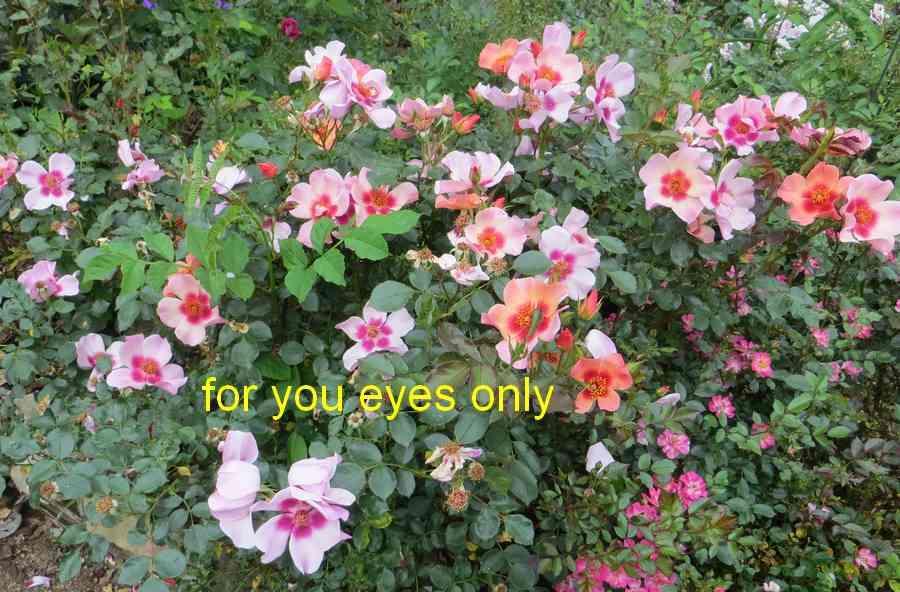roses en vrac - Page 9 For_yo14