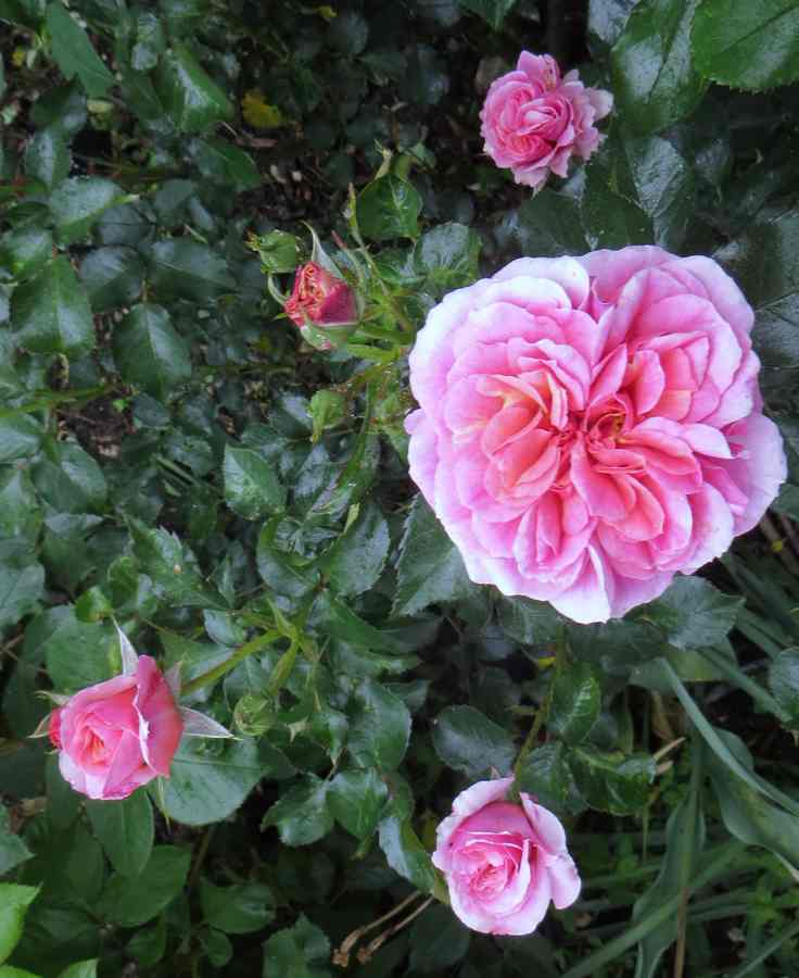 rosier Francis Jammes Franci10