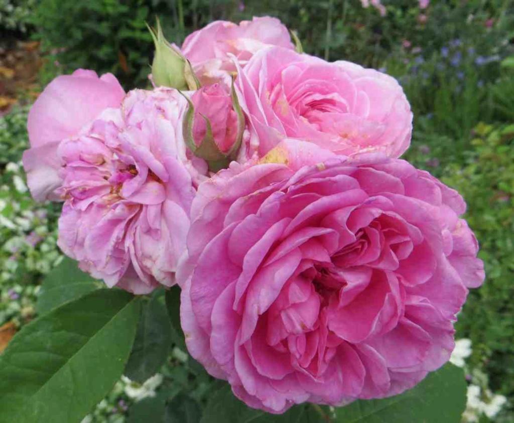 Rosa 'Gertrude Jekyll'  !!! Gertru10