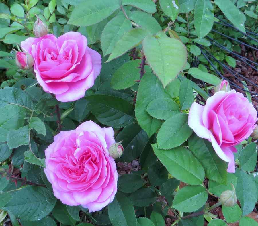 Rosa 'Gertrude Jekyll'  !!! Gertru11