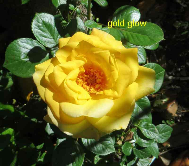 roses en vrac - Page 9 Gold_g10