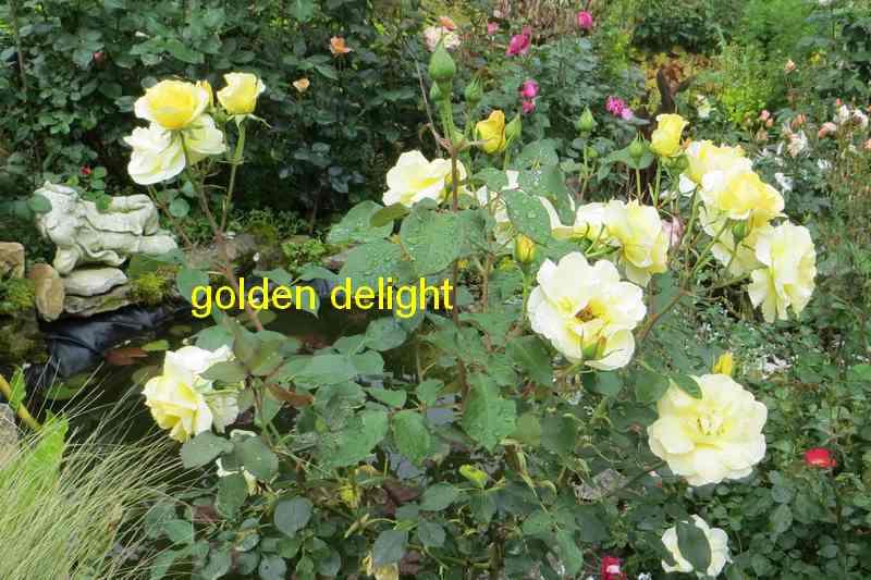 roses en vrac - Page 9 Golden14