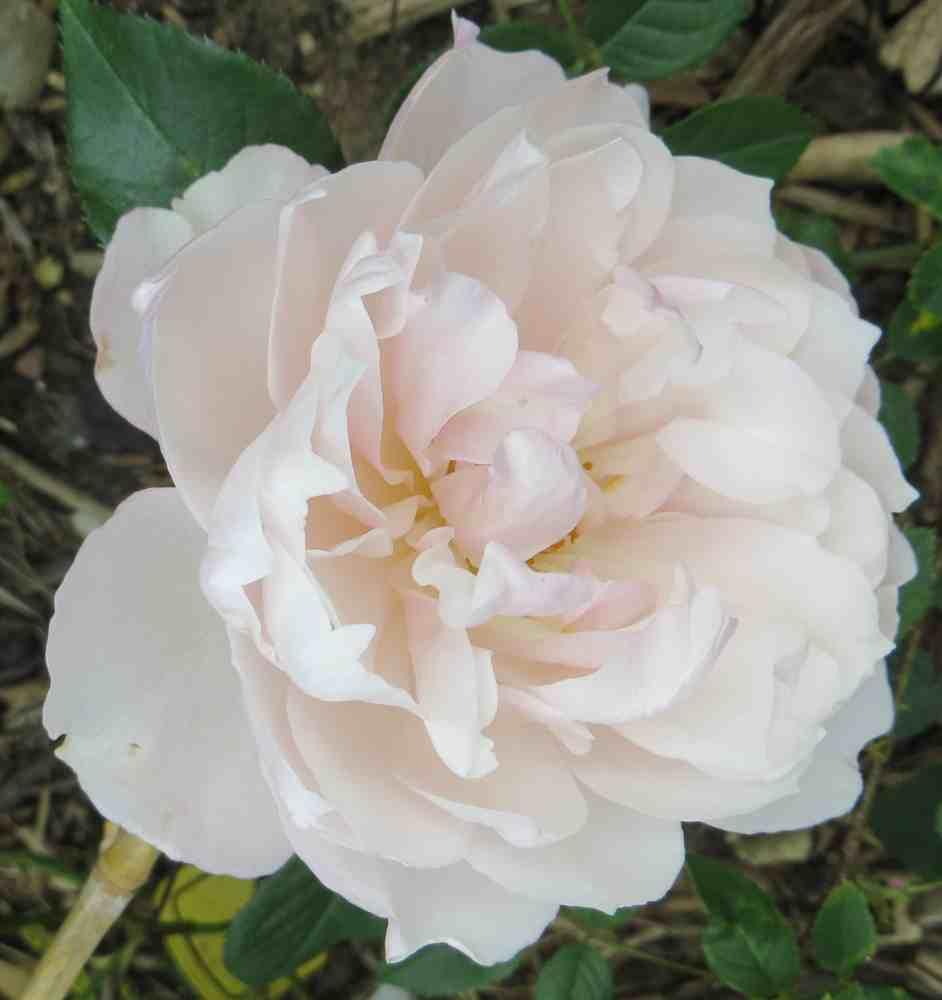 Rosa 'The Generous Gardener' ! Gynyro10