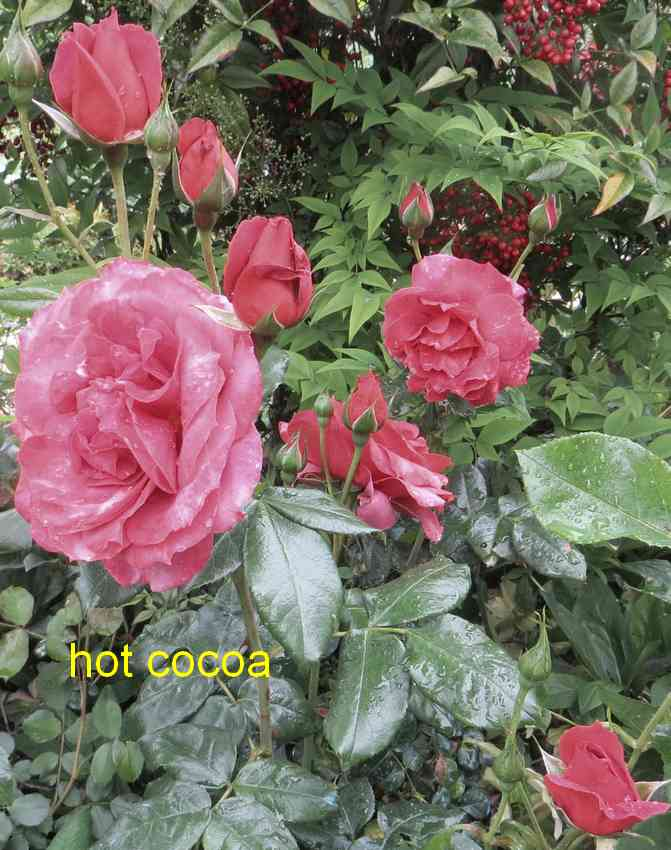roses en vrac - Page 9 Hot_co13