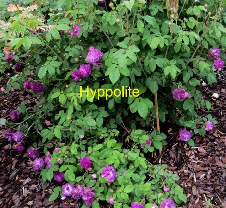 roses en vrac - Page 9 Hyppol13
