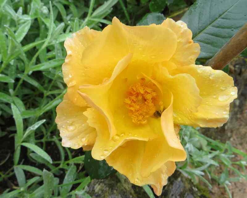 roses en vrac Img_4673