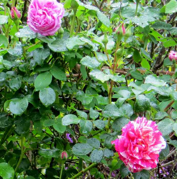 roses en vrac Img_4674