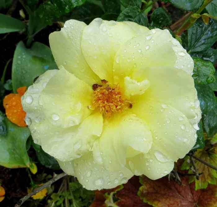 roses en vrac Img_4675