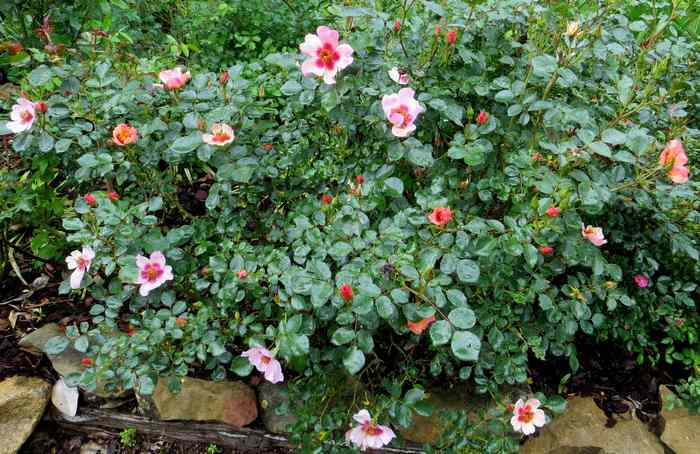 roses en vrac Img_4677