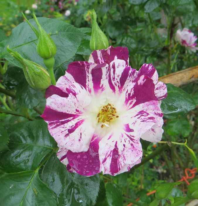 roses en vrac Img_4712