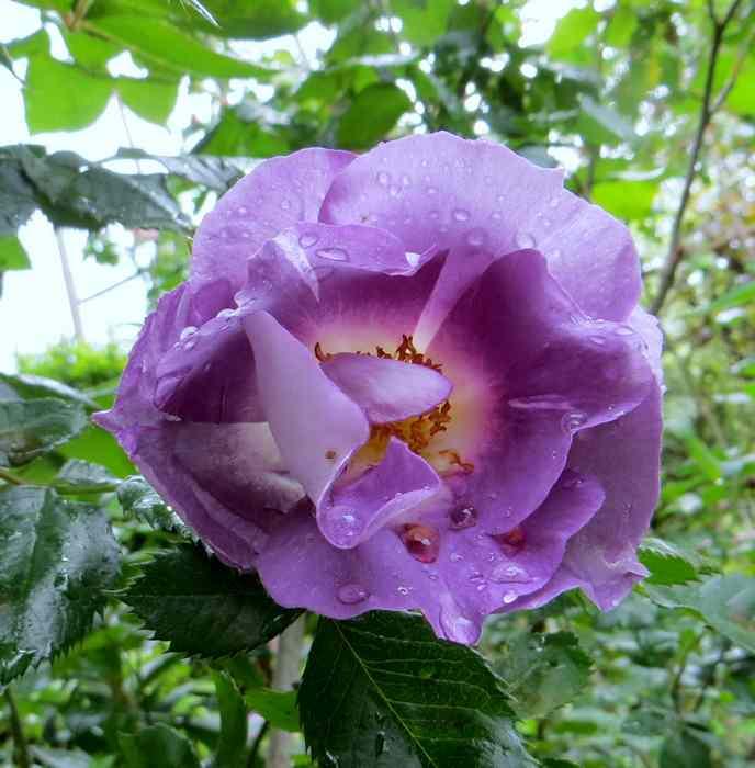 roses en vrac Img_4713