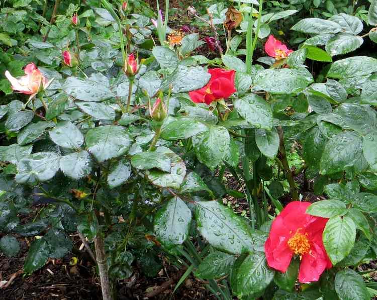 roses en vrac Img_4714
