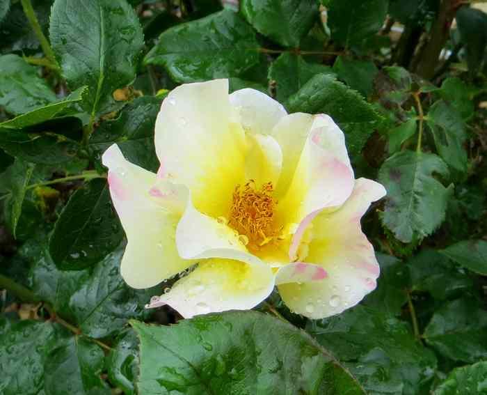 roses en vrac Img_4715