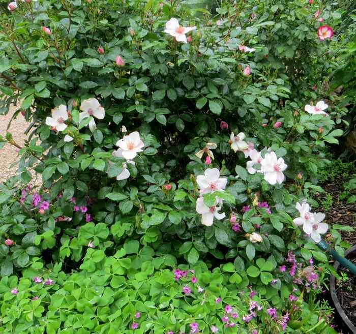 roses en vrac Img_4716