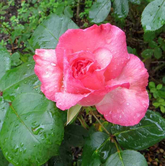 roses en vrac Img_4717